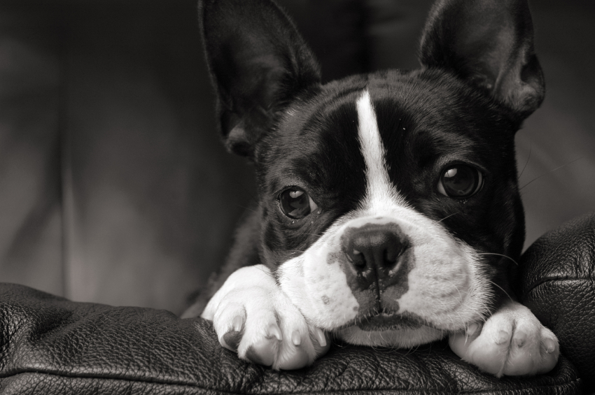 Boston Terrier Wallpapers HD Desktop Backgrounds Images And Pictures